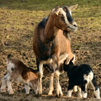 Goat Questions? Answers at 18th Annual Goat Education Day