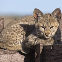 Bobcat Bludgeoning Raises Concerns