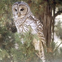 The Barred Owl is Here—to Stay!