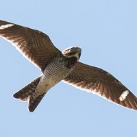 Get to Know the Common Nighthawk