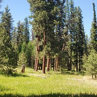 Protecting Pines in the Ochocos