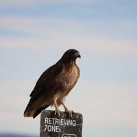 An Annual Fall Ritual: Raptor Migration