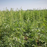 Farm Bill Puts Hemp on Par with Other Crops
