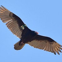 Turkey Vultures are Back Again