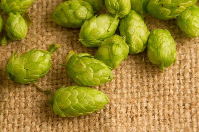 Hops, fresh off the bine. - CROSBY HOPS