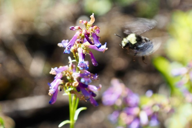 A native Oregon bumblebee inspects a wildflower at the Sunriver Nature Center's garden. - CHRIS MILLER