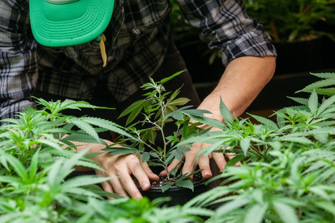 Will Burns tends to a young hemp plant. - MAGDALENA BOKOWA