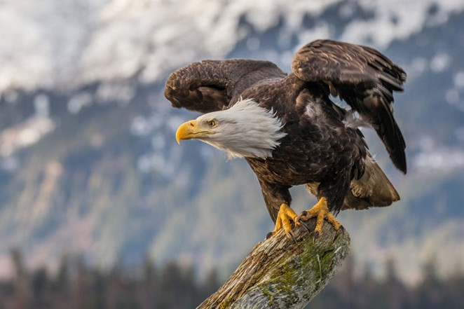 American eagles pay the ultimate price when they ingest lead ammo. - COURTESY ANDY MORFFEW / WIKIMEDIA COMMONS