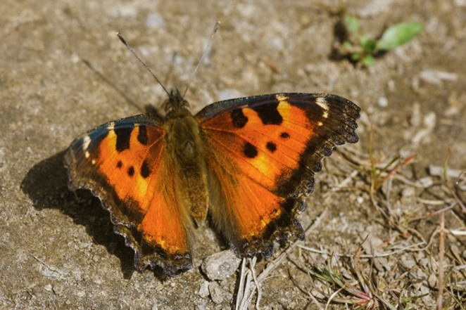 A just emerged California tortoiseshell, Nymphalis californica. - JIM ANDERSON