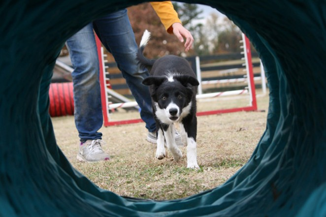 An agility competitor is posed to run the tunnel. - CHRIS MCLEOD