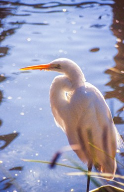 American egret in Silver Lake. - JIM ANDERSON