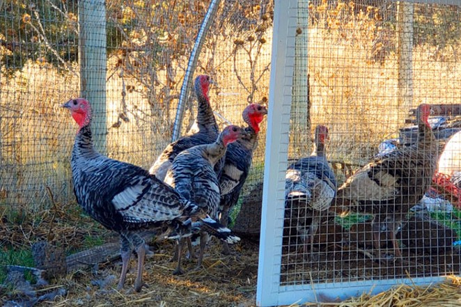 Nervous heritage turkeys scramble to run away from the humans. - CAYLA CLARK