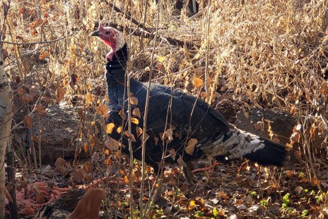 Turk the turkey happily explores Juniper Jungle Farms. - CAYLA CLARK