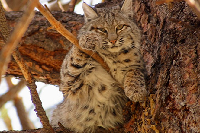 Bobcats may look cute, but they do not make good pets and should be left in the wild. - JIM ANDERSON