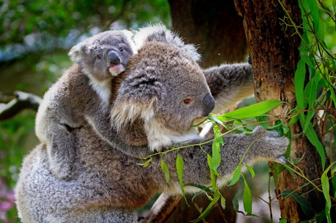 Officials estimate that about one-third of the koala population perished in the Australian wildfires. - PIXABAY