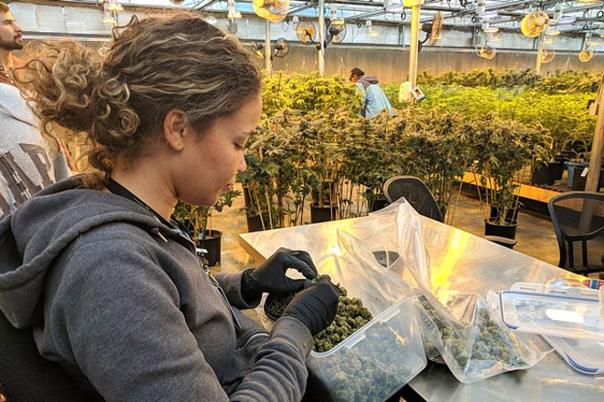 A professional bud trimmer prepares a harvest of cannabis for retail distribution. - MY 420 TOURS, WIKIMEDIA COMMONS
