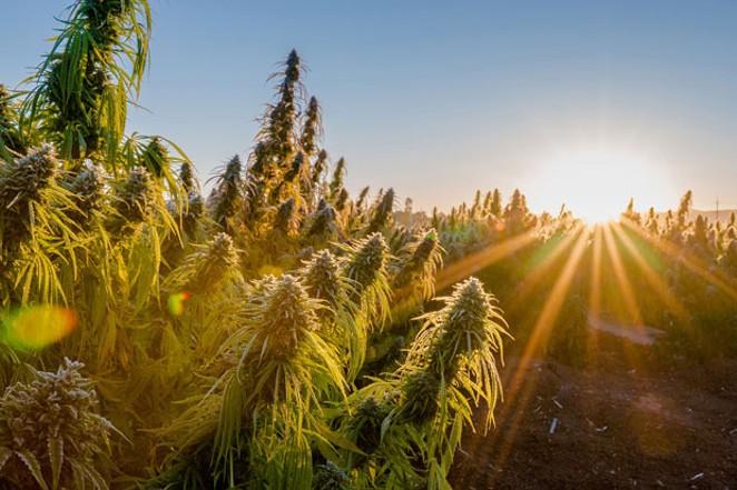Hemptown USA operates a farm in Eagle Point, Oregon, where it grew 500 acres of CBG plants last year. - COURTESY HEMPTOWN USA