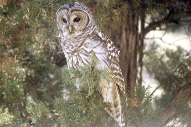The infamous, alien Barred Owl, and nemesis of the native Northern Spotted Owl (Alfalfa 1985). - JIM ANDERSON
