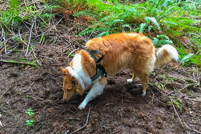 Sniffing the forest for the truffle trees. - CAMILLA WELHAVEN