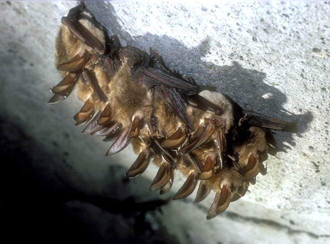 A family of Townsend's big-eared bats. - JIM ANDERSON