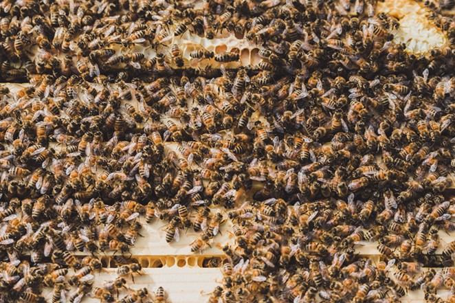 An entire hive can be completely wiped out by between 20 and 30 Asian giant hornets in a matter of hours. - AMANDA LONG