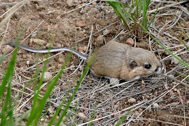 Our resident Kangaroo Rat, which is food-to-go for our feathered friends. - JIM ANDERSON
