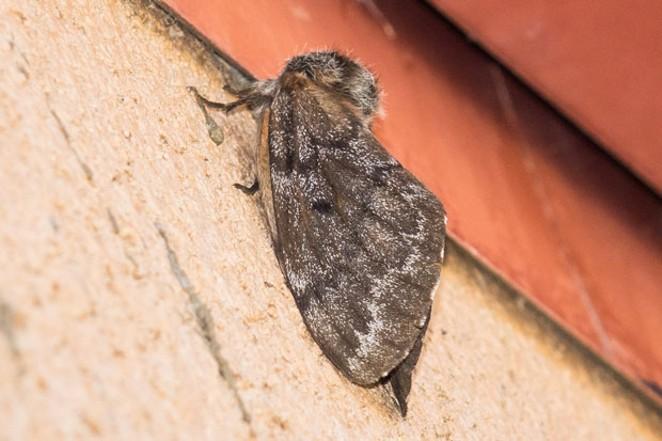 Adult Pandora moth. - SUE ANDERSON