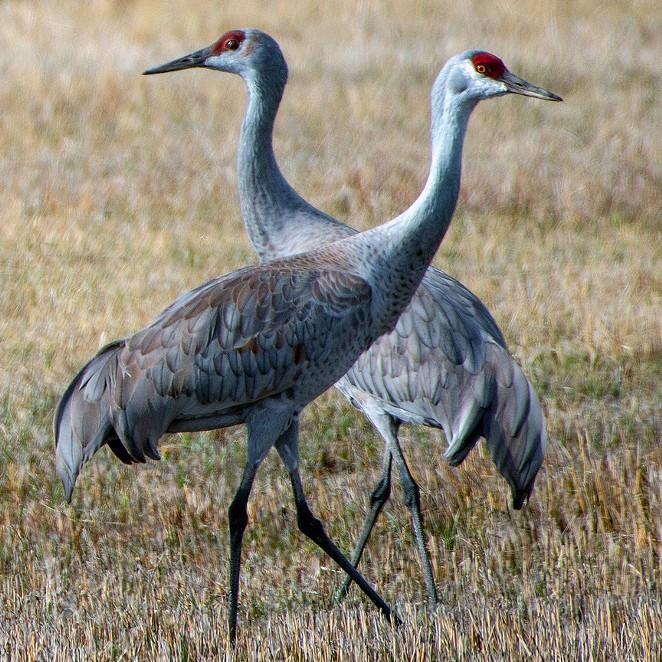 Sandhill Cranes. - GREG BURKE