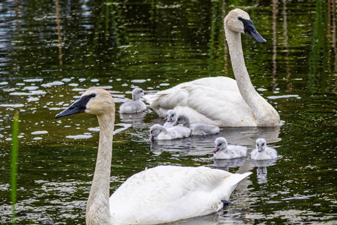 Trumpeter swans, Eloise and Pete, and their 6 cygnets produced this nesting season at the Aspen Lakes Community. - AL KRAUSE
