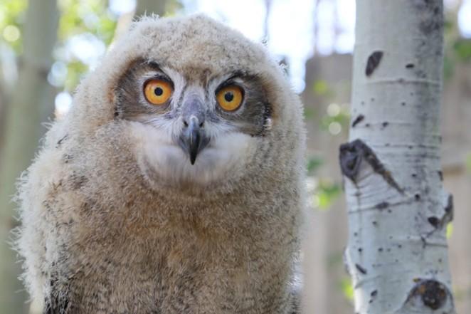 She's big and bold! The new Sunriver Nature Center's ambassador, a female Eurasian Eagle-owl. - COURTESY SUNRIVER NATURE CENTER