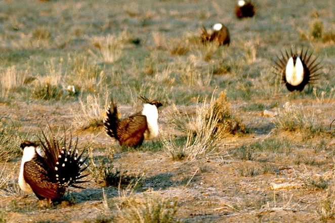 Male sage grouse flirting with the ladies. - JIM ANDERSON