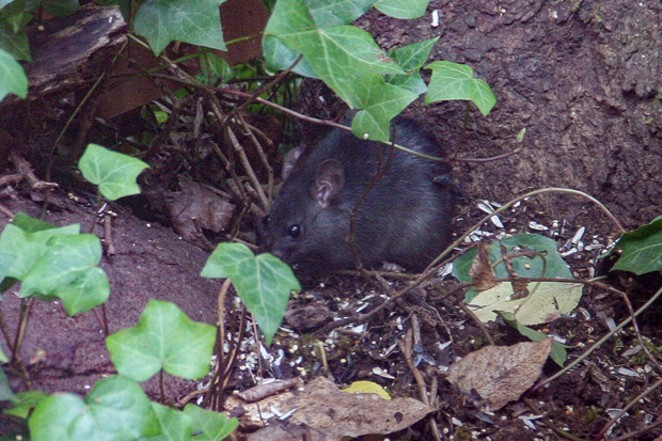 This Norway Rat comes out for fallen birdseed. - JANE ANDERSON