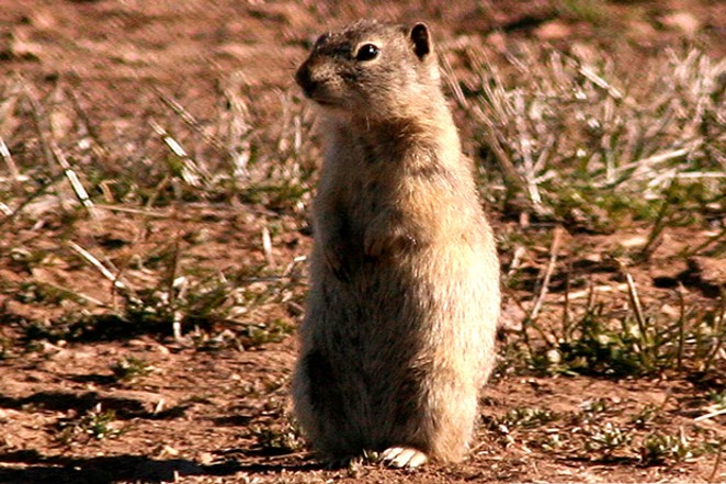 The Belding's Ground Squirrel, whose fleas can carry the bubonic plague. - JIM ANDERSON