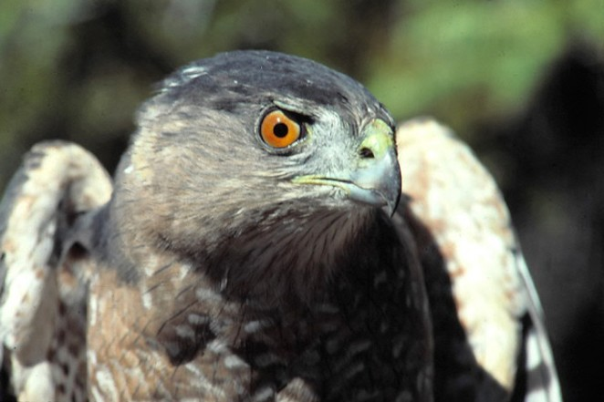 A Coopers Hawk on the hunt. - DAMIAN FAGAN