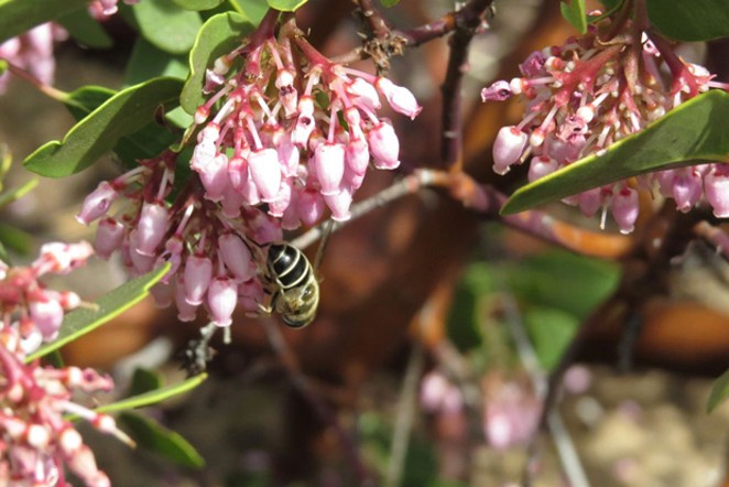 Manzanitas in spring bloom attract bees and other visitors. - MARINA RICHIE