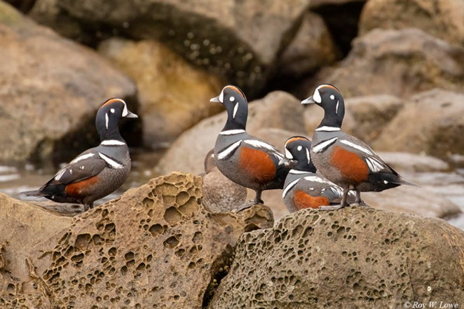 A group of Harlequin male (drake) ducks posing on the rocks on the Oregon Coast. - ROY LOW