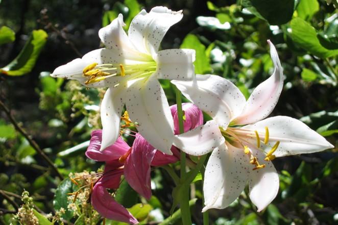 Washington Lily at the Metolius Preserve. - COURTESY DESCHUTES LAND TRUST