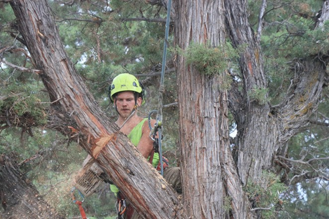 Wood chips fly off the chainsaw as an arborist cuts a large branch. - JACK HARVEL