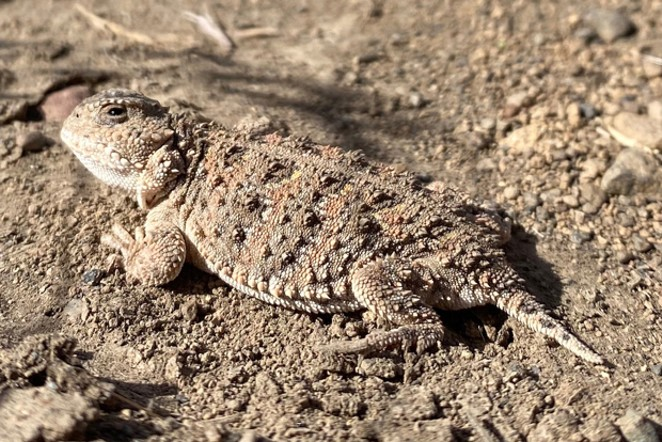 The adult Pygmy horned lizard blends into the landscape. - JIM ANDERSON