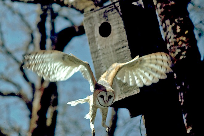 Female Barn Owl heading out to hunt. - JIM ANDERSON