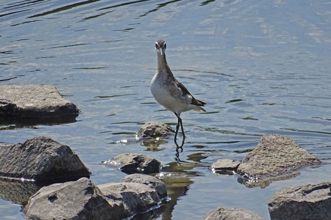 Wilson's Phalarope is just one of the thousands of birds using the Crooked River Wetlands. - CHUCK GATES