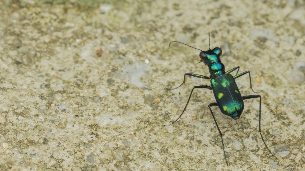 Metallic tiger beetle shot in Selangor, Malaysia - ZLENG | FLICKR