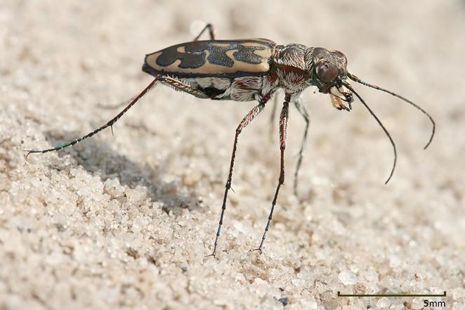 Lophyra sp. Tiger beetle pictured in Kibaha, Tanzania. - MUHAMMAD MAHDI KARIM