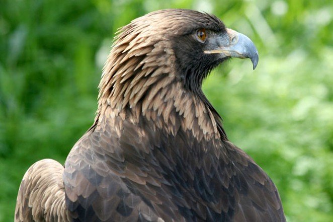 People around the worldcan view the live cam on a Golden Eagle nest outside of Sisters. - ODFW / FLICKR.COM