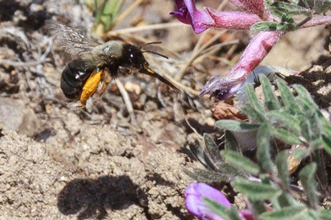 The Great Sandy Desert carpenter bee. - SUE ANDERSON