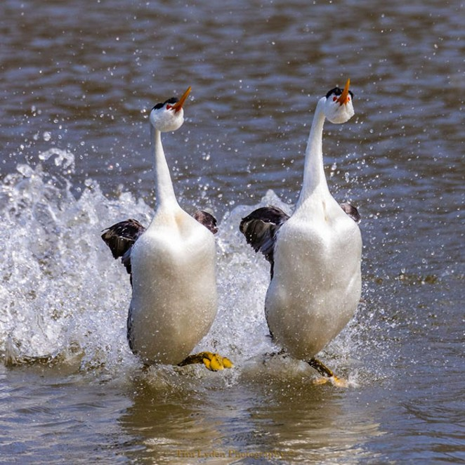 """""""Clark's Grebes celebrate their pairing with an exuberant dance across the surface of the water in Klamath Falls, Oregon."""" @timlydenphotography brings us this hilarious shot of waterfowl. Tag @sourceweekly for a chance to be featured here. - SUBMITTED"""