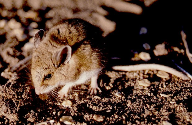 The deer mouse, Peromyscus maniculatus, is just about every carnivore's prey—plus a carrier of several diseases that plague man, if you'll pardon the pun. - JIM ANDERSON