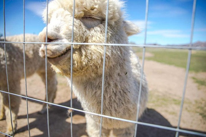 @ivypnw reminds us it's always a good time for cute alpacas. Tag @sourceweekly to appear in Lightmeter. - SUBMITTED