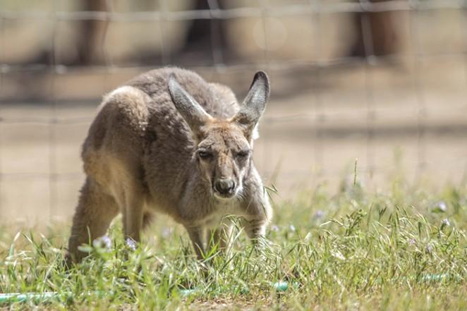 Charlotte, a red kangaroo. - KYLE SWITZER