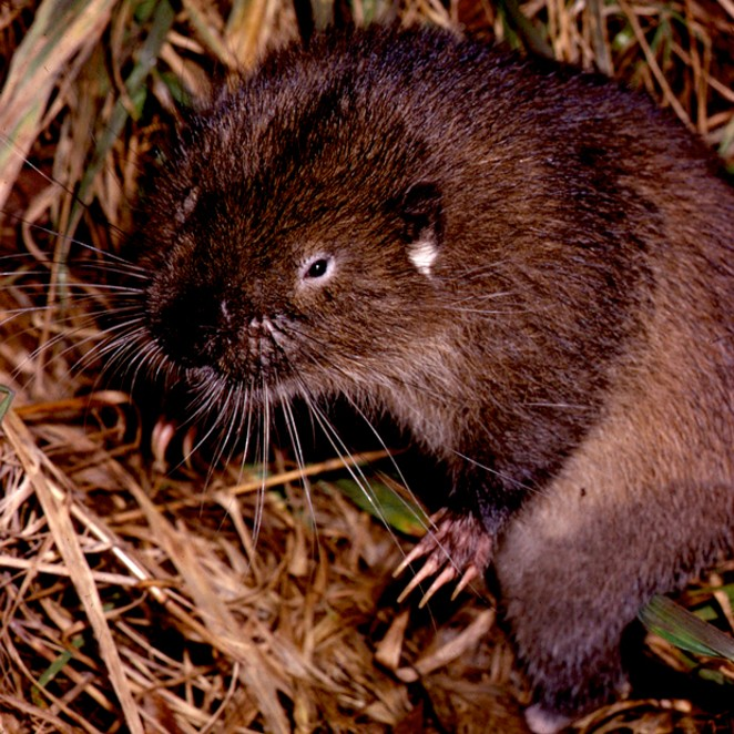 An adult mountain beaver (Aplodontia rufa), discovered in the eastern foothills of the Oregon Coast Range, near Vernonia. - JIM ANDERSON
